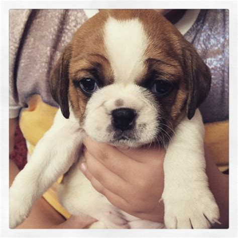 schnoodle puppies for sale only 2 remaining malpas cheshire one stunning girl remaining puggle ready now