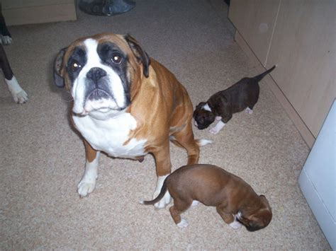 boxer puppies for sale boxer puppies for sale ashington northumberland pets4homes