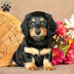 dachshund puppies md dachshund puppies for sale in de md ny nj philly dc and baltimore