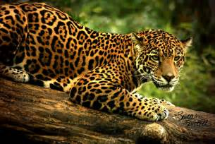 Endangered Jaguar Fowler R Up Research Project Hadassah Latson Jaguar