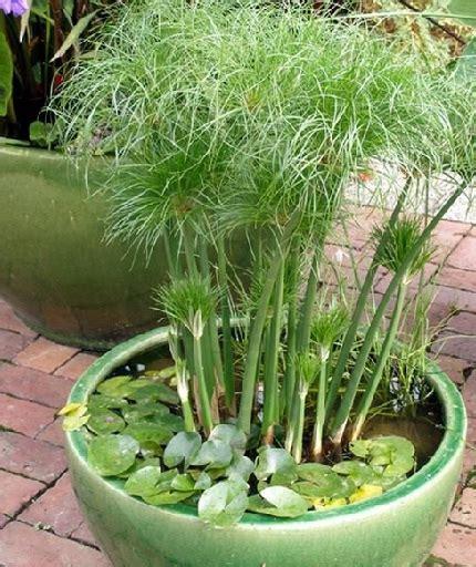 Tanaman Hias Air Apu Apu 5 Pcs tanaman papyrus jual tanaman hias
