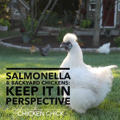 backyard chickens and salmonella keep it in perspective