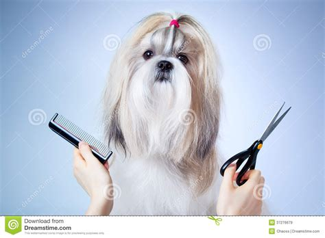 grooming shih tzu dogs shih tzu grooming royalty free stock images image 37276679