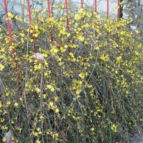 piante fiori gialli pianta con fiori gialli da determinare grazie foto dei