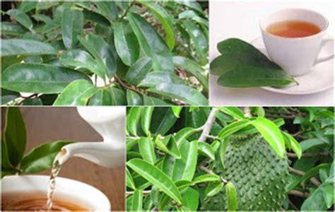 Teh Daun Sirsak membuat teh daun sirsak kota