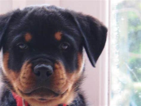 2 week rottweiler puppy oh my sque e e e ak muliebrity