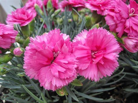 manfaat dan khasiat bunga anyelir dianthus caryophyllus tanaman herbal