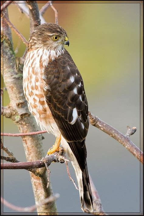 sharp shinned hawk sharp shinned hawk back again animals pinterest
