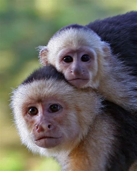 white faced capuchin monkey baby animals pinterest