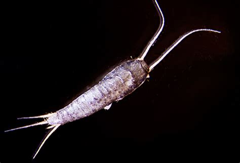 Silverfish Bathtub by Pictures Of Bugs That Live In Your House