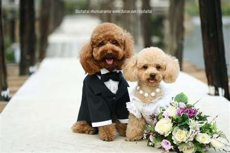 puppy wedding 1000 images about dogs wedding on happy national day wedding veils