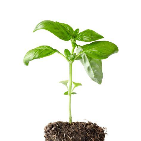 coltivare in vaso come coltivare il basilico in vaso e a terra