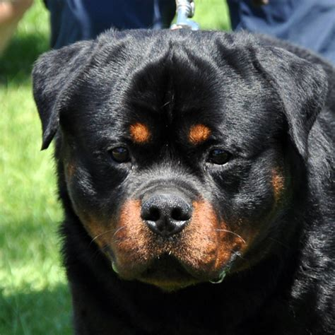 world rottweiler rottweiler frozen rottweiler articles rottweiler information west coast