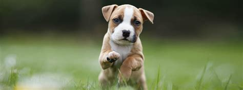 when can puppies get their a puppy playpen advice purina