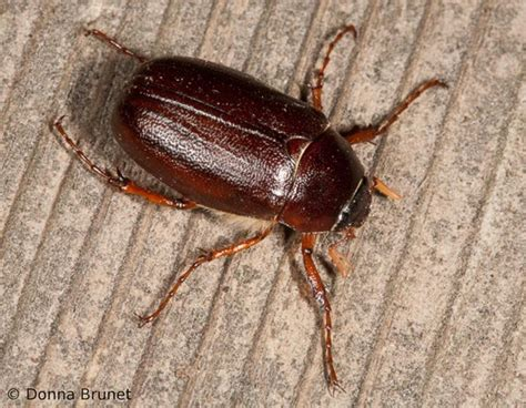 Phelps Wood Floors Tallahassee by May Beetles June Bugs Mdc Discover Nature