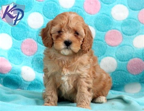 cavapoo puppies for sale in pa 17 best images about cavapoo puppies on puppys and blossoms