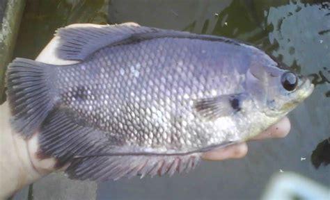 Bibit Ikan Gurame Ciamis indobeta