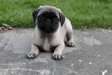 pug for sale manchester pug puppies for sale manchester greater manchester pets4homes