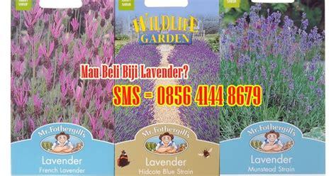 Jual Bibit Bunga Lavender Jakarta toko benih lavender munstead strain jual benih bunga