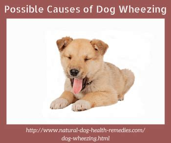 puppy wheezing what causes wheezing and what you can do about it