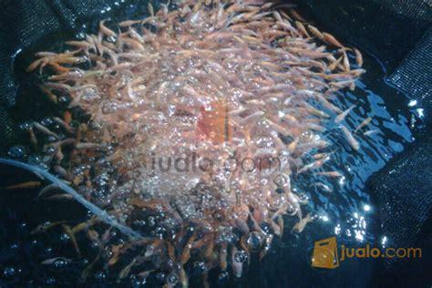 Jual Bibit Ikan Nila Di Palembang jual benih nila murah jualo