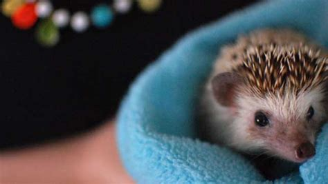 pet hedgehogs   prickly issue   states mnn