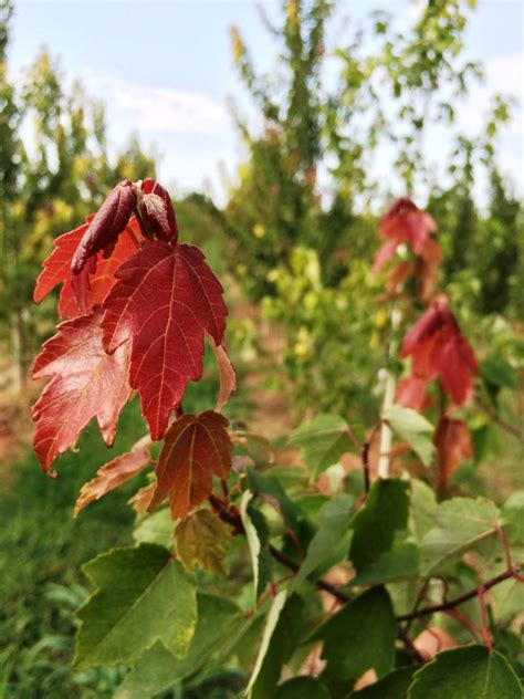 summer red maple tree tlc garden centers