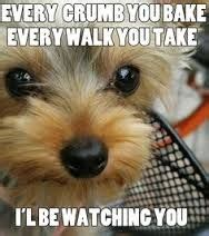 my yorkie follows me everywhere yorkie quotes search yorkie haha and teacup yorkie
