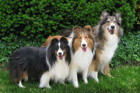 Do Shelties Shed by Best Shelties On The Web Breeds Picture