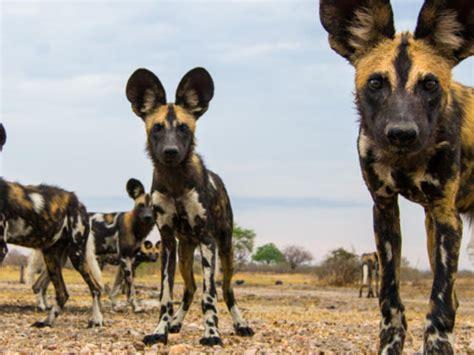 species canine species wwf