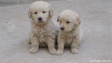 are golden retrievers hypoallergenic complete list of hypoallergenic dogs breeds picture