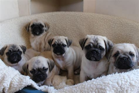 bichon pug puppies 3 4 pug x bichon puppies for sale leter ceredigion pets4homes