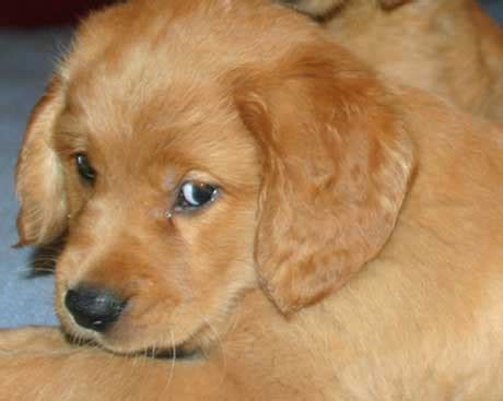 golden retriever cross dachshund for sale golden retriever mix puppies for sale in wi dogs in our photo