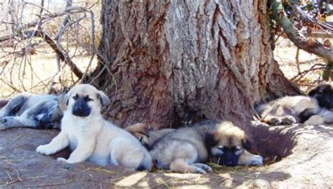 american alsatian puppies for sale american alsatian characteristics appearance and pictures