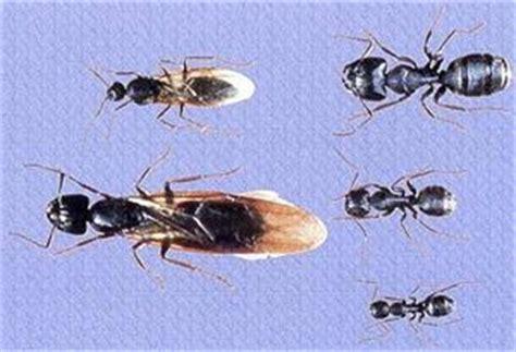 cridx pest solutions carpenter ants
