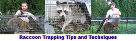 how to catch a raccoon in my backyard how to get rid of raccoons