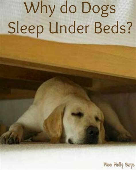 dog sleeps under bed why do dogs sleep under beds miss molly says