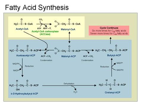 fatty acid synthesis pathway diagram 203 best images about cell biology on passive