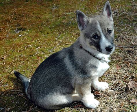 swedish breeds swedish vallhund info temperament care puppies pictures