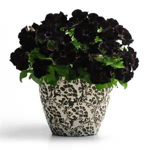 hot plant black velvet petunia october 2010 sbs