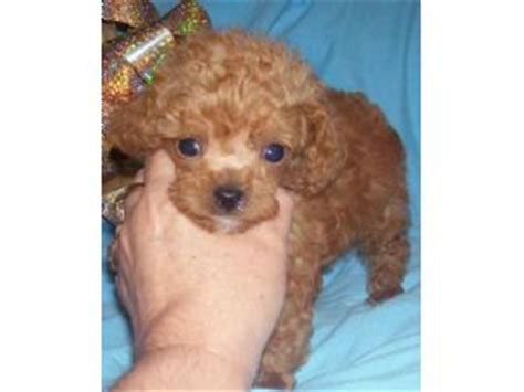 poodle puppies for sale in sc poodle puppies for sale
