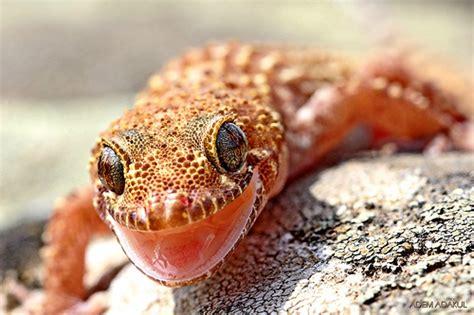 mediterranean house gecko hemidactylus turcicus mediterranean house gecko flickr photo sharing
