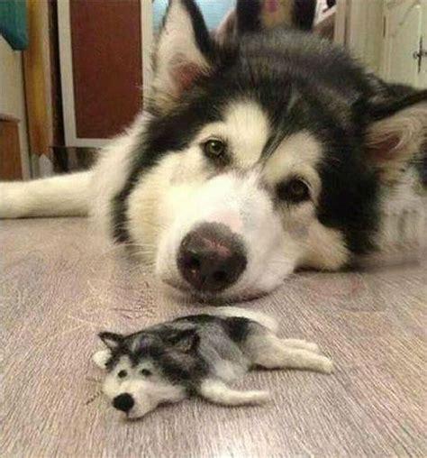 mini husky puppies husky gets a miniature friend made from its own fur soranews24