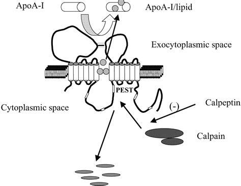 atp binding cassette regulation and mechanisms of atp binding cassette