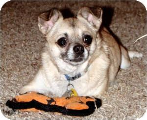 pugs dallas tx barron adopted dallas tx chihuahua pug mix