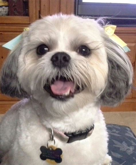 havamalt puppies 17 best images about tales on spaniels puppys and cavalier king charles