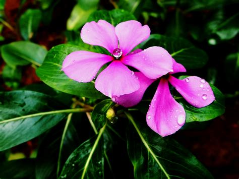 cural impatance of rosy periwinkle madagascar s tropical rainforest
