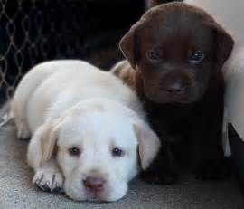 Lab Puppies Puppy Dogs White Labrador Retriever Puppies