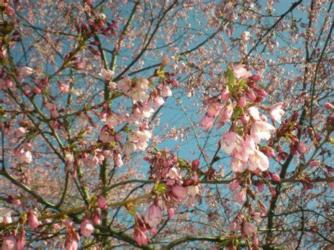 autumn flowering cherry city of coeur d alene autumn flowering cherry