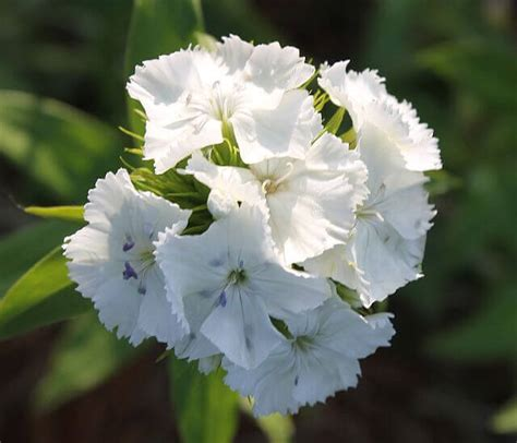 Jual Bibit Bunga Hyacinth yuk intip buket bunga royal wedding kate dan william safa flower and bouquet